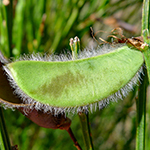 Pods of the Broom