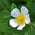 Flower of the Dog Rose