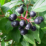 Berry of Dogwood