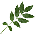 Composite Leaf of the English Ash