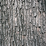 Bark of the Field Maple