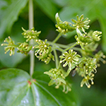 Flower of the Field Maple