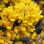 Flower of the Gorse