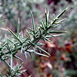 Leaf/Spines of the Gorse