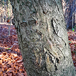 Bark of the Holly
