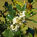 Flower of the Holly