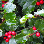 Berry of the Holly