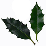 Leaf of the Holly