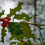 Twig of the Holly