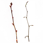 Twig of the Hornbeam