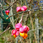 Fruit of the Spindle