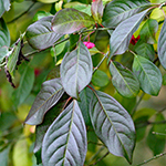 Leaf of the Spindle